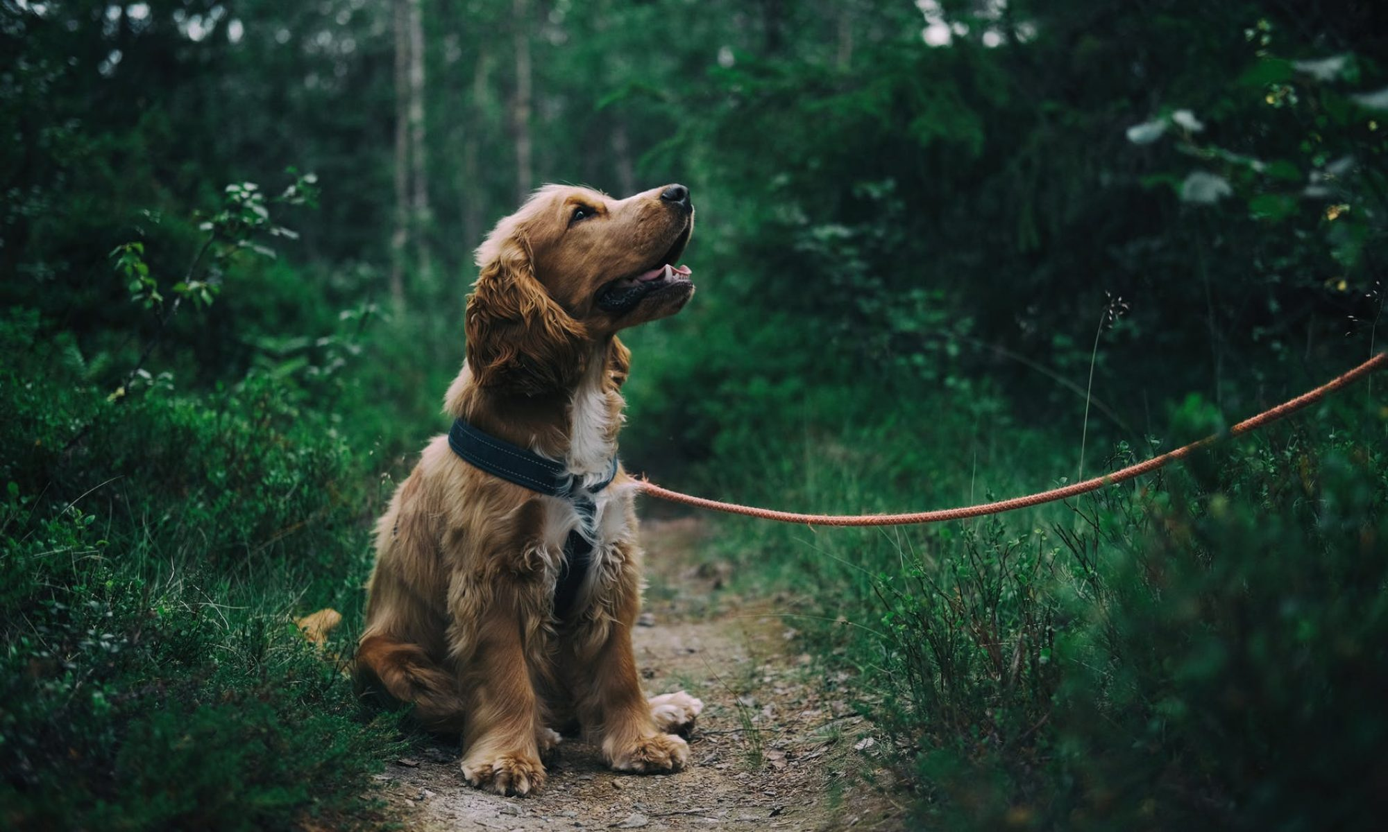 Wiggle Dog Walks